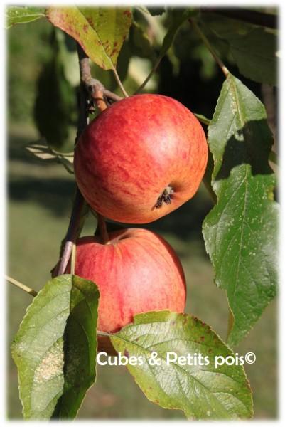 Les pommes pour les compotes de bébé